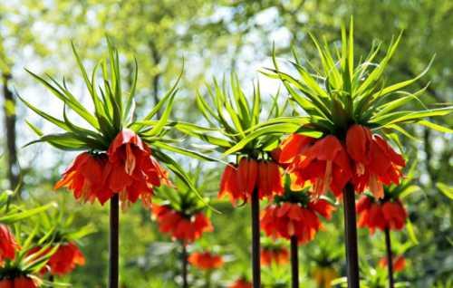 выращивание хризантем в теплице: бизнес на продаже цветов